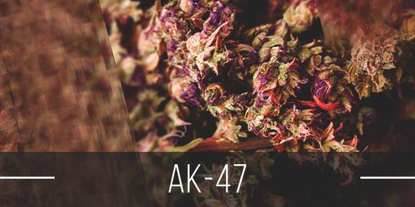 AK-47-Cannabis-Strain
