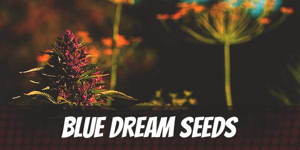 Blue Dream Seeds