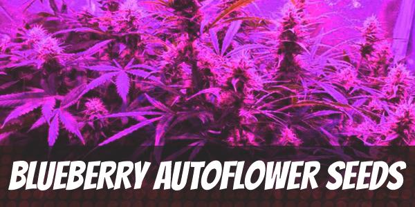 Blueberry Autoflower Seeds