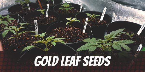 Gold Leaf Seeds