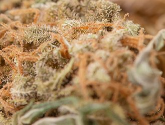skunk 1 strain
