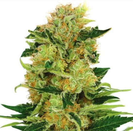 pineapple-strain